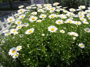 Daisies: Bethany's Favorite Flower