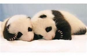 Baby Pandas/Baby Humans