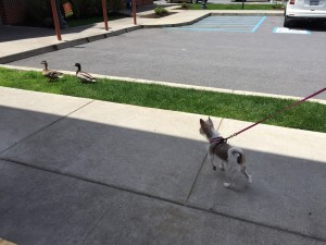 Mocha chasing ducks outdoors at a McDonalds